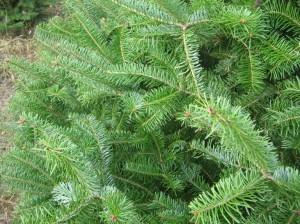 Orlando Christmas Tree Balsam Fir Closeup