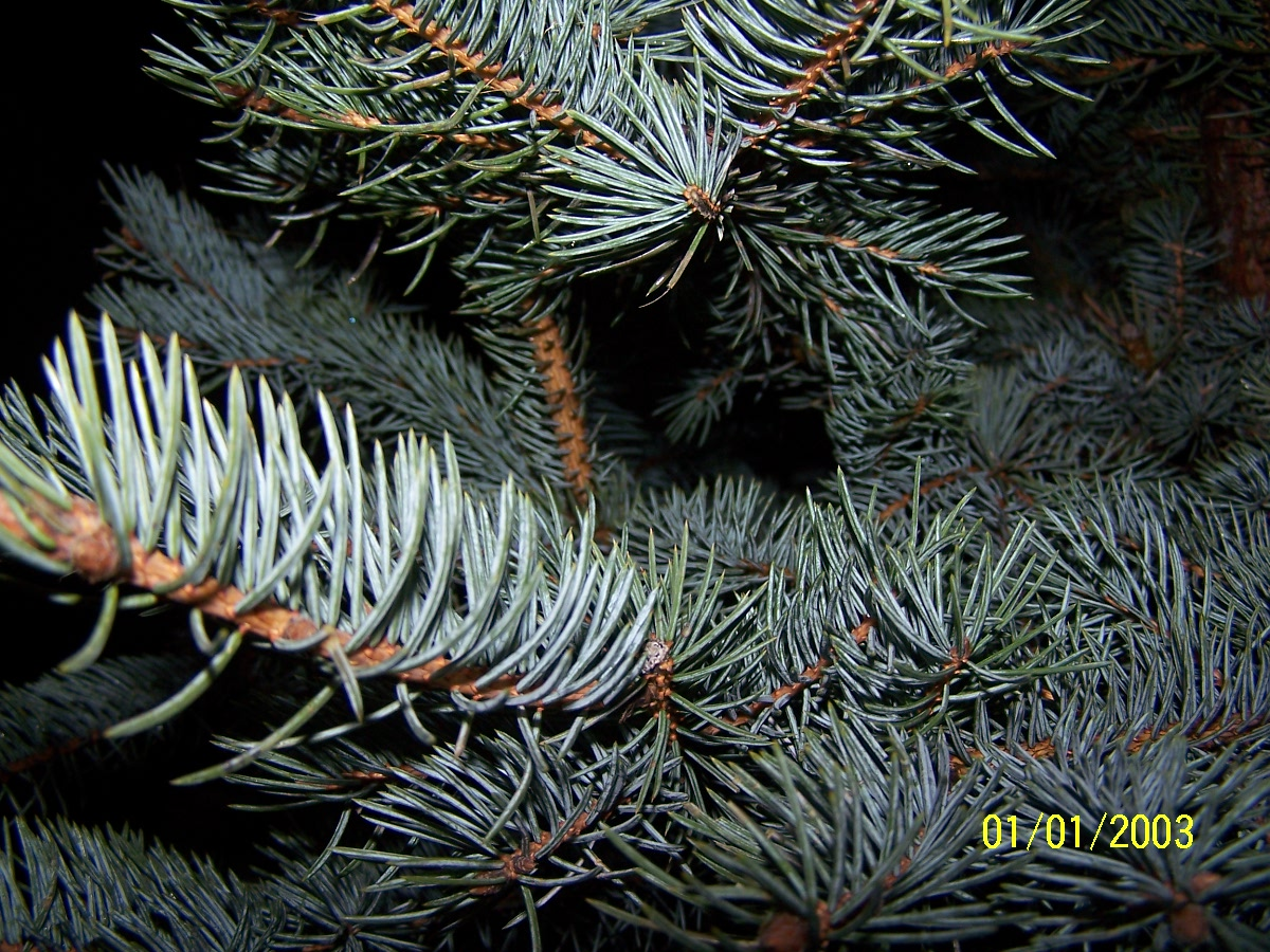 Best Selection Of Blue Spruce Christmas Trees In Orlando Fl
