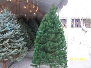 Scothch Pine