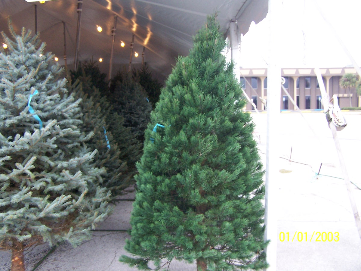 Scotch Pine Christmas Tree.Best Selection Of Scotch Pine Christmas Trees For Sale In