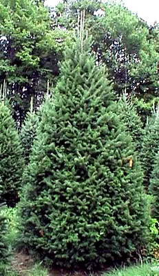 Orlando Christmas Tree. Balsam Fir